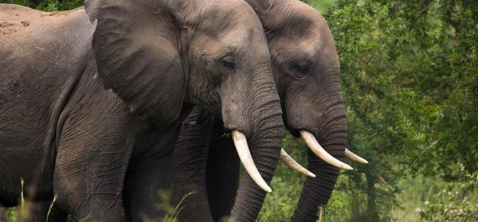 Ferramenta que detecta terremotos pode ajudar a salvar elefantes