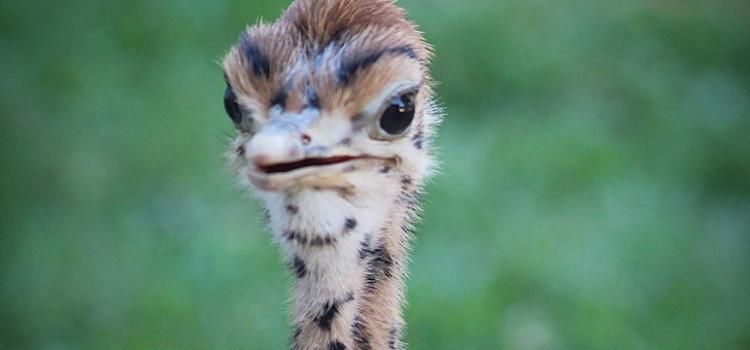 Filhote de avestruz nasce em zoológico de Pomerode