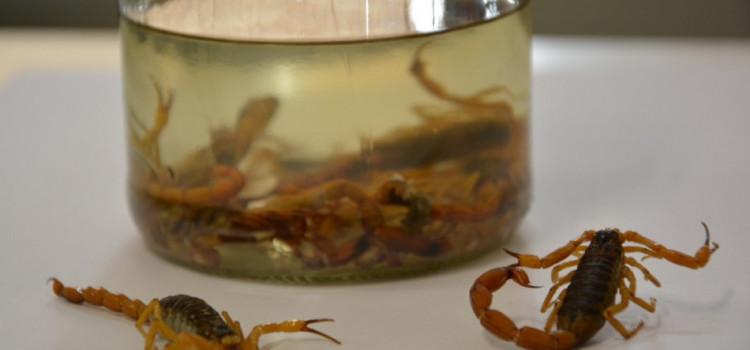 Aumenta quantidade de focos de escorpião amarelo em Blumenau