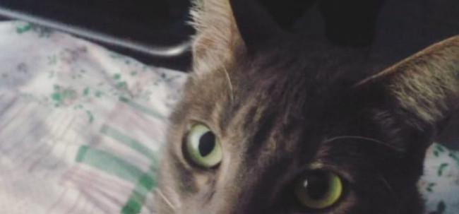 Família procura por gatinha desaparecida no Progresso
